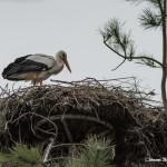 les cigogne dans leur nid