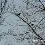 merles dans les arbres