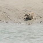 phoque blanc