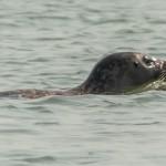 phoque qui nage