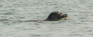"Photo claire de ""Nessie""? Phoque-nage-0632-2-300x121"